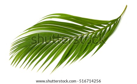Green leaves of palm tree on white background #516714256