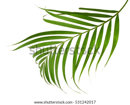 Green leaves of palm tree on white background #531242017