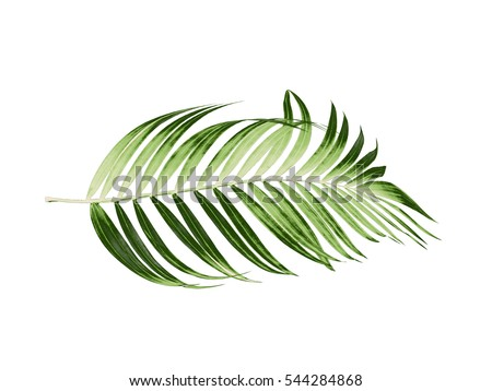 Green leaves of palm tree on white background #544284868