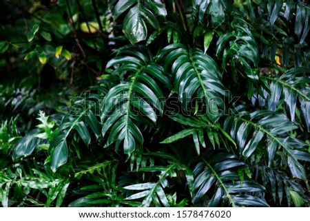 Green leaves of Philodendron, selloum (Philodendron bipinnatifidum) is an evergreen tropical ornamental plants for garden. #1578476020