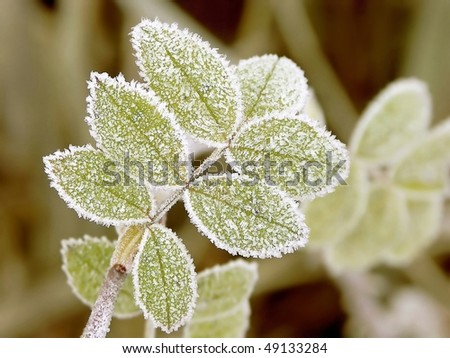 Green leaves of plant covered with frost in the cold autumn morning.