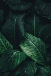 Green leaves of plant growing. tropical rain forest plant. abstract color on dark background.