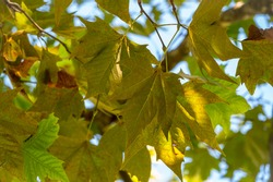 Green Leaves of Pltatanus oreintalis tree in sunset light. Platanus orientalis, the Old World sycamore or Oriental plane.