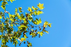 Green Leaves of Pltatanus oreintalis tree on blue sky background. Platanus orientalis, the Old World sycamore or Oriental plane.