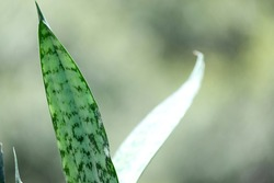 Green Leaves of Sansevieria trifasciata, Snake Plant or Mother-in-laws Tongue background
