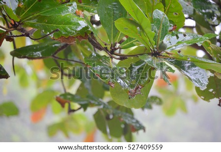 Green leaves of the Jamaica Islands #527409559