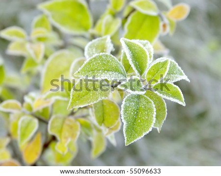 Green leaves of the plant covered with morning frost.