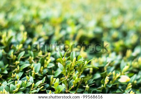 Green Leaves On Branches Of Buxus In Summer