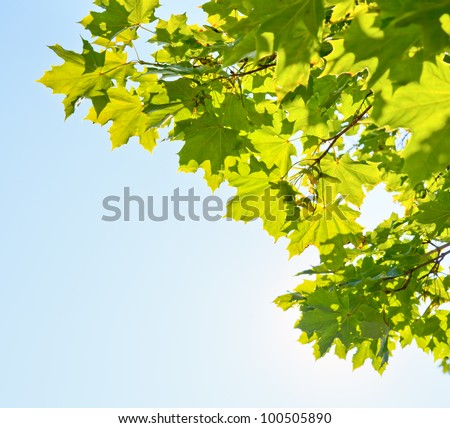 Green leaves on maple tree against clear blue sky - stock photo