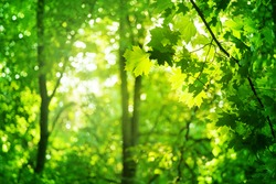 Green leaves on maple tree branches on blurred sunny forest background close up, lush foliage soft focus, beautiful summer day wood landscape, mysterious forest with sun glow, morning sunlight nature