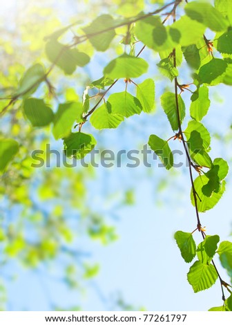 Green leaves or birch on the sun
