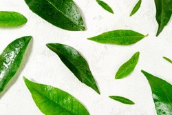 Green leaves pattern on white. Citrus leaves with water drops on white background. Top view