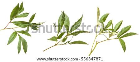 green leaves peony bush. isolated on white background. Set #556347871