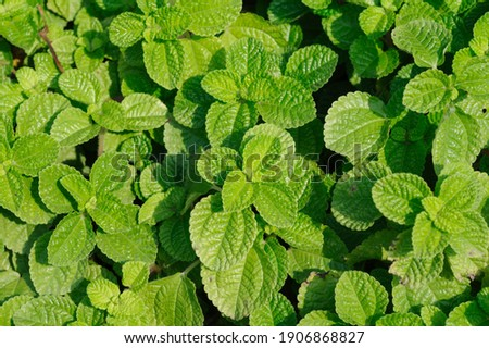 green leaves peppermint on natural daylight Foto stock ©