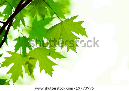 green leaves, shallow focus. Maple leaves.