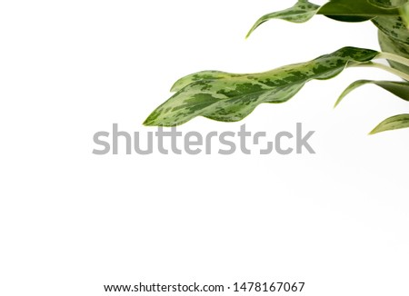 Green leaves, slender leaves isolated From a white backgroundGreen leaves, slender leaves isolated From a white background #1478167067