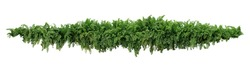 Green leaves tropical foliage plant bush of cascading Fishtail fern or forked giant sword fern (Nephrolepis spp.) the shade garden landscaping shrub plant isolated on white background, clipping path.