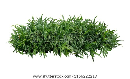 Green leaves tropical foliage plant bush of Wart fern or Monarch fern (Phymatosorus scolopendria) the garden landscaping shrub isolated on white background