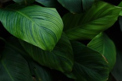 Green leaves, tropical plant growing in wild. Close up. Pattern, texture, background.
