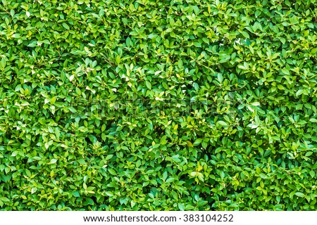 Green leaves wall background  #383104252