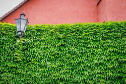 Green leaves wall background. Virginia creeper vine Parthenocissus plants above red stone fence, text place, copy space