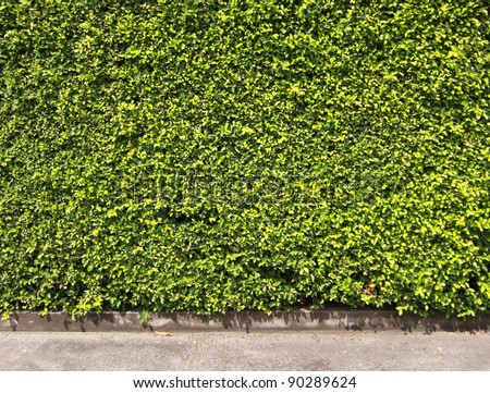 Green leaves wall for background