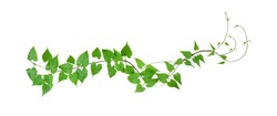 Green leaves wild climbing vine, isolated on white background, clipping path included