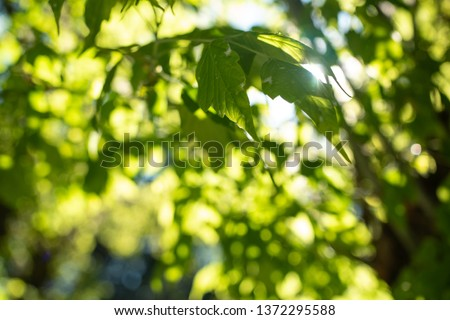 Green leaves with beautiful sunlight shining through in the background. A lush green setting in a natural park.
