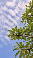Green leaves with blue skies and wispy white clouds that look so beautiful with soft nuances