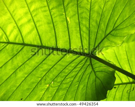 green leaves with clear vein