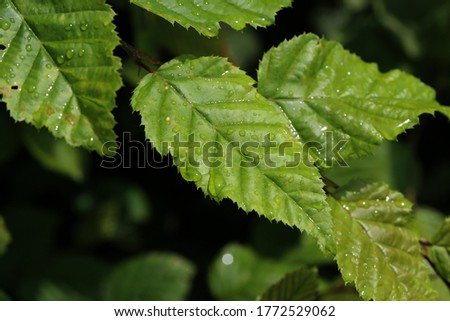 Green leaves with drops of moisture after rain