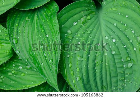 Green leaves with water drops background, close up