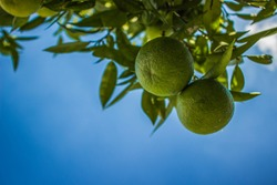 green lemon fruits on south tropic tree branches on empty blue sky background with sun light, copy space