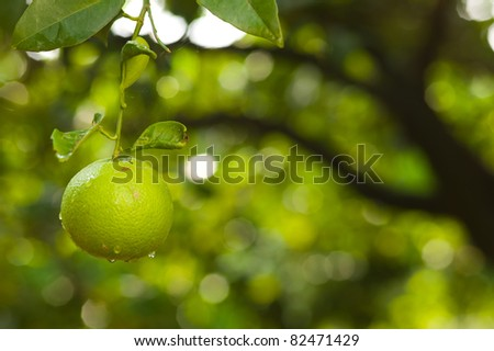 Green lemon hanging on a tree