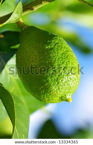 Green lemon in the lemon tree.