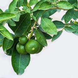Green lemon on the tree