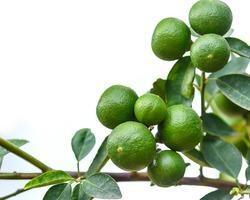 Green lemon on tree
