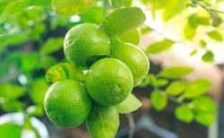 green lemons on tree in garden