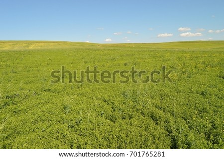 Green lentils field pictures, green lentils in the field while waiting to mature,  #701765281