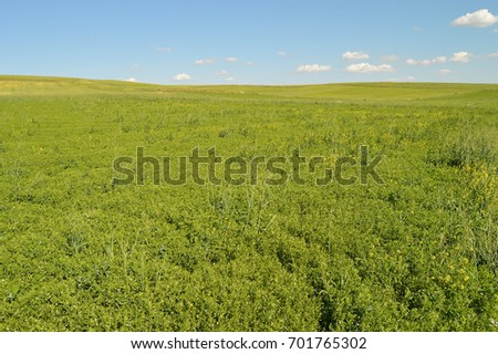 Green lentils field pictures, green lentils in the field while waiting to mature,  #701765302