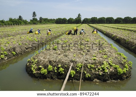 Green Lettuce growing and native farmers working in the field, Thailand traditional farming - wide angle view