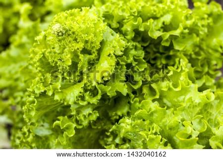 Green lettuce grows with seeds grows. Vegetable diet plant. Vegan food ingredient #1432040162