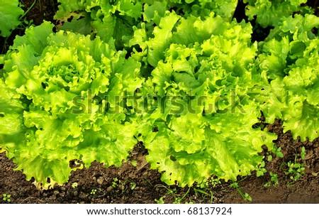 Green lettuce in soil at portuguese farm.