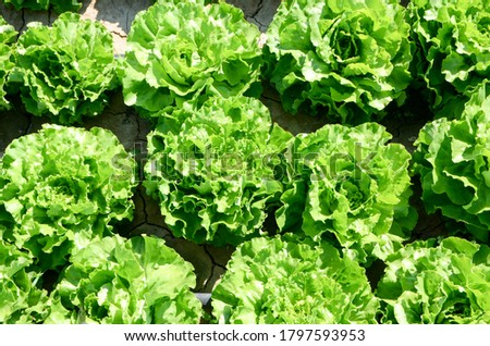 Green lettuce leaves growing on the field. Fresh lettuce growing in soil. Organic lettuce ready for harvest. Fresh lettuce leaves, close up. Salad plant. Organic food production. Agriculture