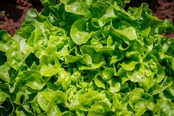Green Lettuce leaves on garden bed in vegetable field. Gardening  background with green Salad plants in open ground, close up. Lactuca sativa green leaves, closeup. Leaf Lettuce in garden bed