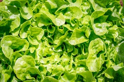 Green Lettuce leaves on garden bed in vegetable field. Gardening  background with green Salad plant in open ground, close up. Lactuca sativa green leaves, closeup. Leaf Lettuce in garden bed