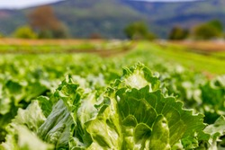 Green Lettuce leaves on garden beds in the vegetable field.  Gardening  background with green Salad plants in open ground, close up. Lactuca sativa green leaves, closeup.  Leaf Lettuce in garden bed