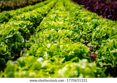 Green Lettuce leaves on garden beds in vegetable field. Gardening background with green Salad plants in open ground, closeup. Lactuca sativa green leaves, close up. Leaf Lettuce in garden bed Stock photo ©
