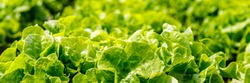 Green Lettuce leaves texture background. Lactuca sativa green leaves, closeup. Leaf Lettuce grow in garden bed, banner