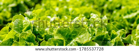 Green Lettuce leaves texture background. Lactuca sativa green leaves, closeup. Leaf Lettuce grow in garden bed, banner Stock photo ©